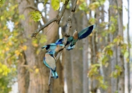 Indian Rollers fighting