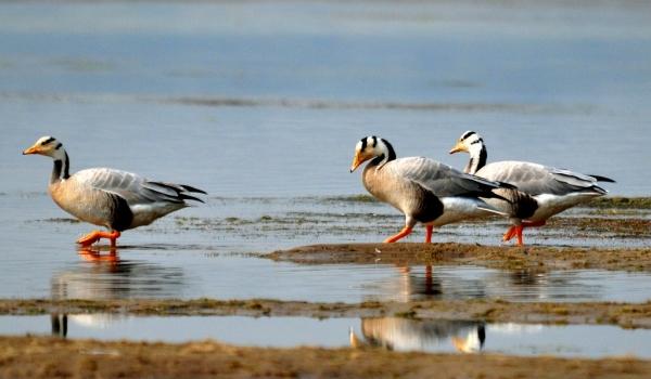 Bar-headed Geese