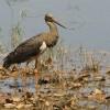 Black Stork – juvenile