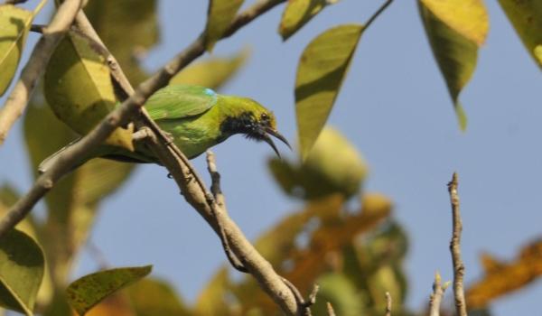 Golden-fronted Leafbird
