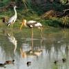 Painted Stork & Grey Heron