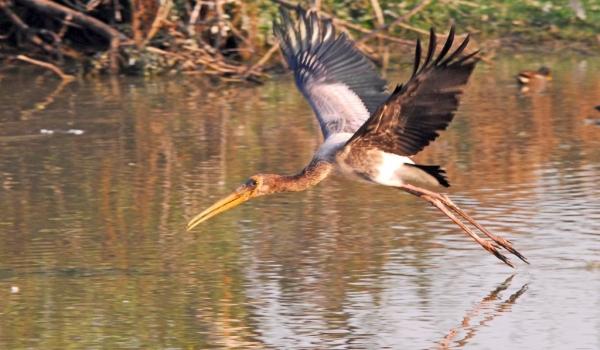 Painted Stork juvenile