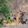 Tiger – Ranthambore N.P.
