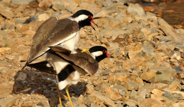 Red-wattled Lapwings