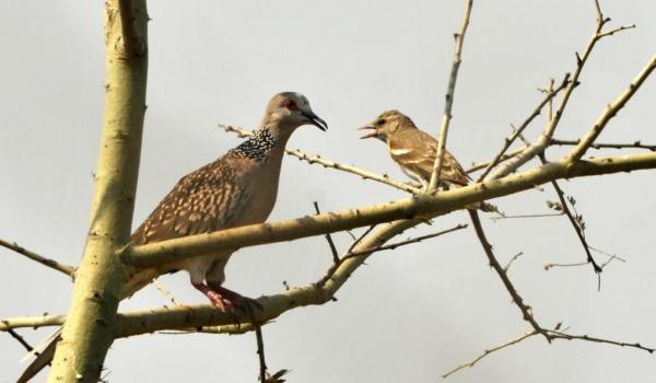 Spotted Dove & Silverbill