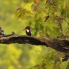 White-throated Kingfishers