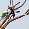 Parakeet meeting Kingfisher