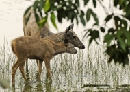Sambar Deer & his baby