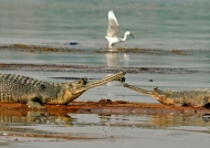 Gharials in Chambal River