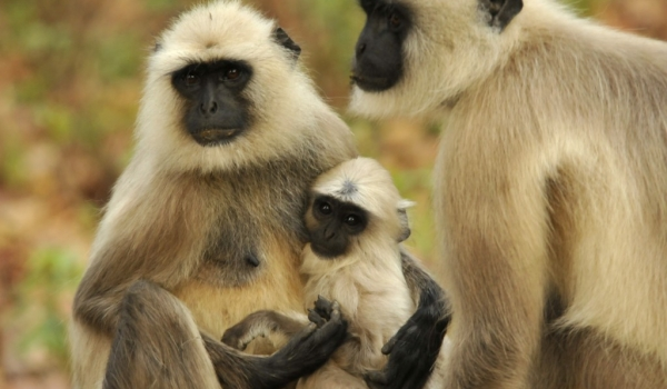 Couple Langurs with baby