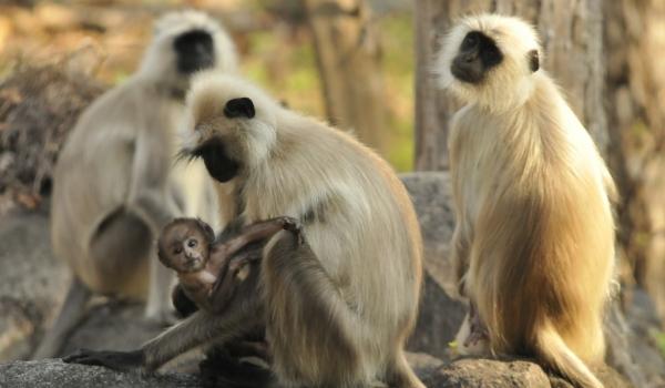 Hanuman Langur family
