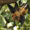 Indian Fruit Bat