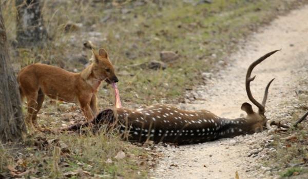 Wild Dog after a kill