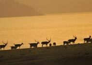 Antelopes  at sunset