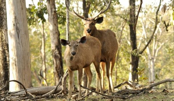 Couple of Sambars