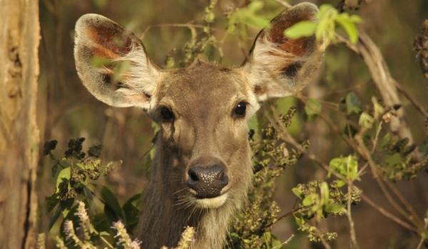 Sambar Deer f.
