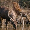 Sambar & Spotted Deers