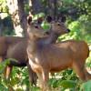 Sambar Deers