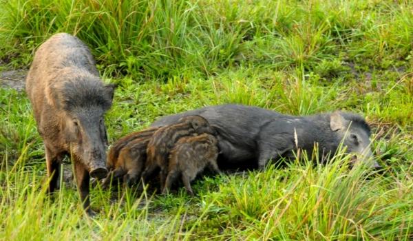 Wild Boars & Babies