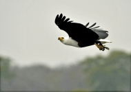 African Fish Eagle with a fish
