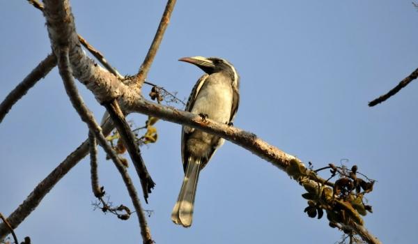 African Grey Hornbill – f.