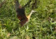 African Jacana – juvenile