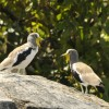 White-crowned Lapwings