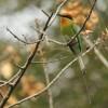 Böhm's Bee-eater