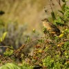 Black-lored Cisticola