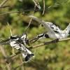 Pied Kingfishers – couple
