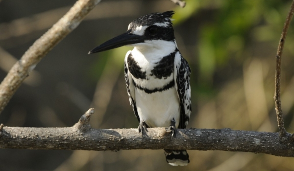 Pied Kingfisher – male