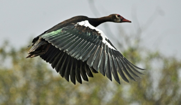Spur-winged Goose