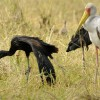 Yelow & Open-billed Storks