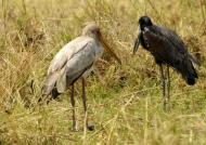 Yelow & Open-billed Storks
