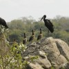 Open-billed Storks