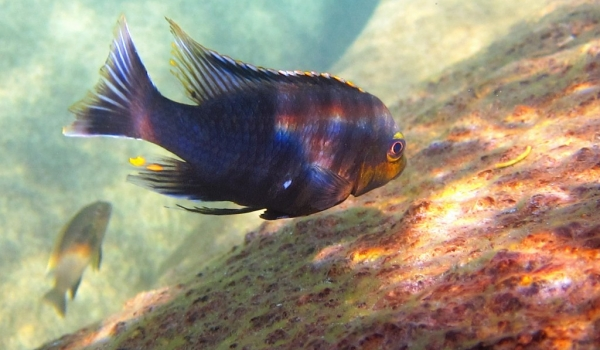 Petrotilapia Mumbo Yellow m.