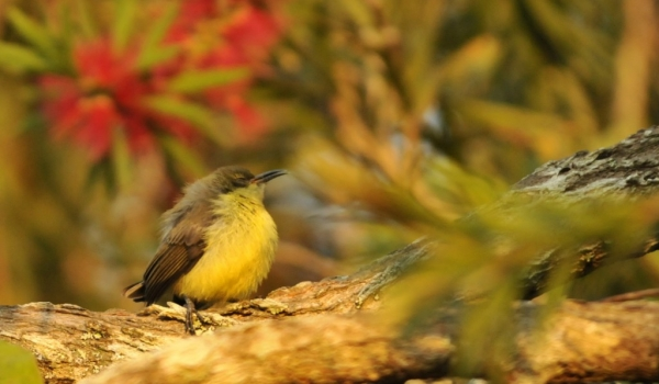 Yellow-bellied Sunbird – juv.