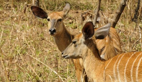 Nyala Antelopes – females