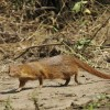 Slender Mongoose