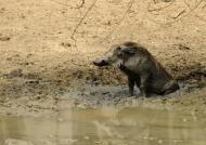 Wet Warthog