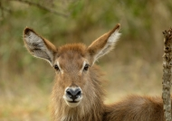 Young Waterbuck – female