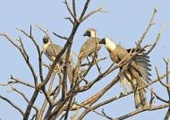 Bare-faced Go-away Birds