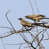 Ashy Starlings