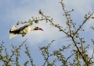 Ruaha Red-billed Hornbill