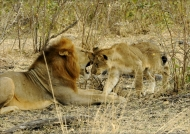 Lion's «kiss» to the cub