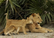 Tender moments with the cub
