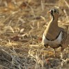 Black-faced Sandgrouse – m.