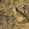 Emerald-spotted Dove