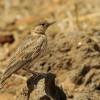 Fischer's Sparrow Lark – f.