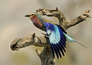 Tanzania – Lilac-breasted Roller